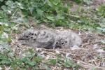 Jeunes goélands à bec cerclé au nid